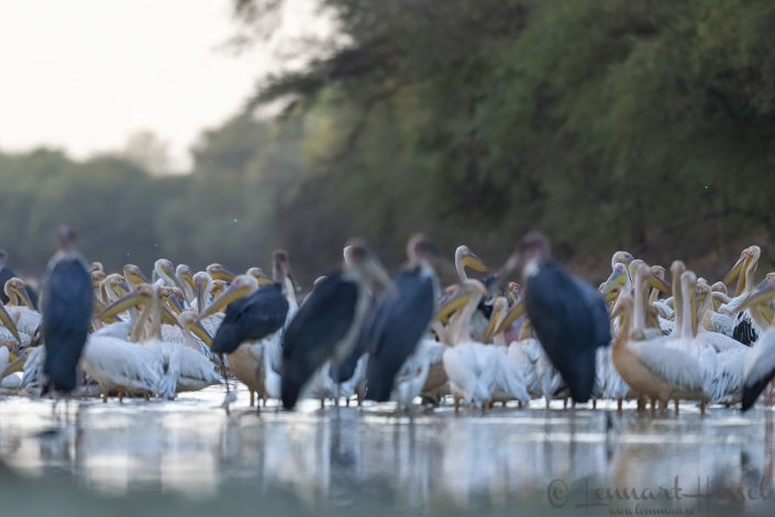 Pelican peek-a-boo in the Salamat River Zakouma National Park