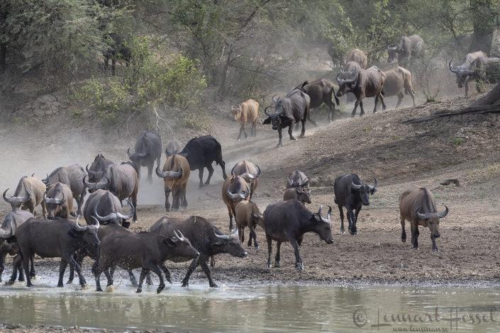 Central African Savannah Buffalo herd Salamat River Zakouma National Park