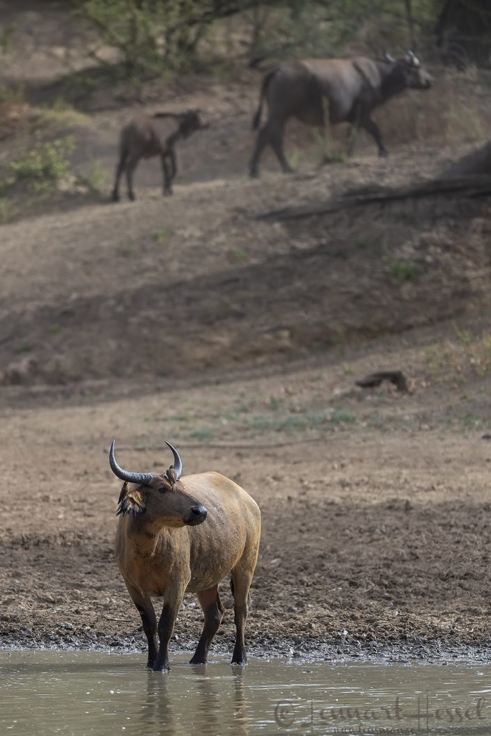 Central African Savannah Buffalo Salamat River Zakouma National Park