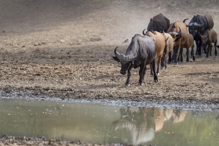 Central African Savannah Buffalo row Salamat River Zakouma National Park