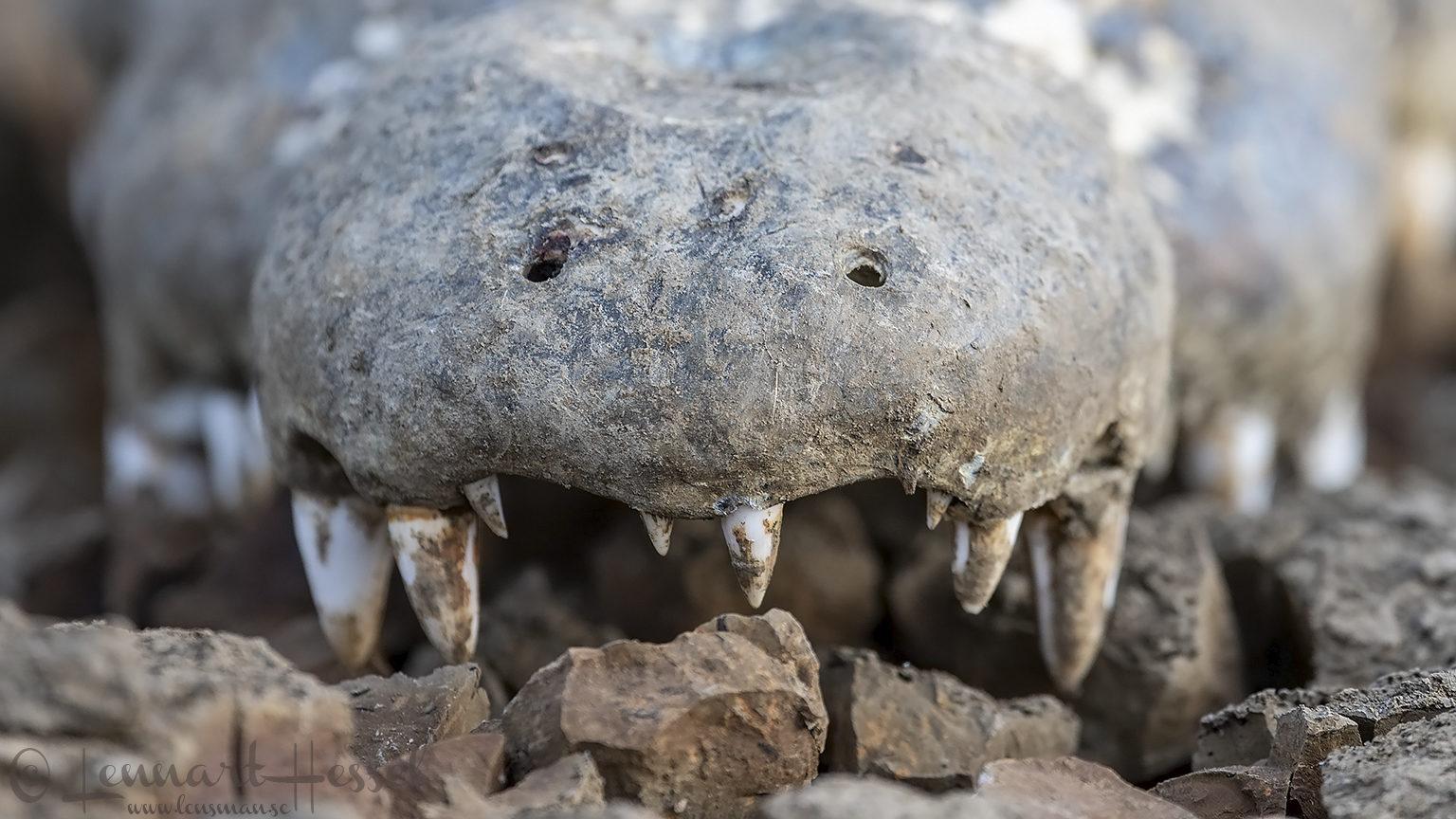 Croc grin closeup Salamat River Zakouma National Park