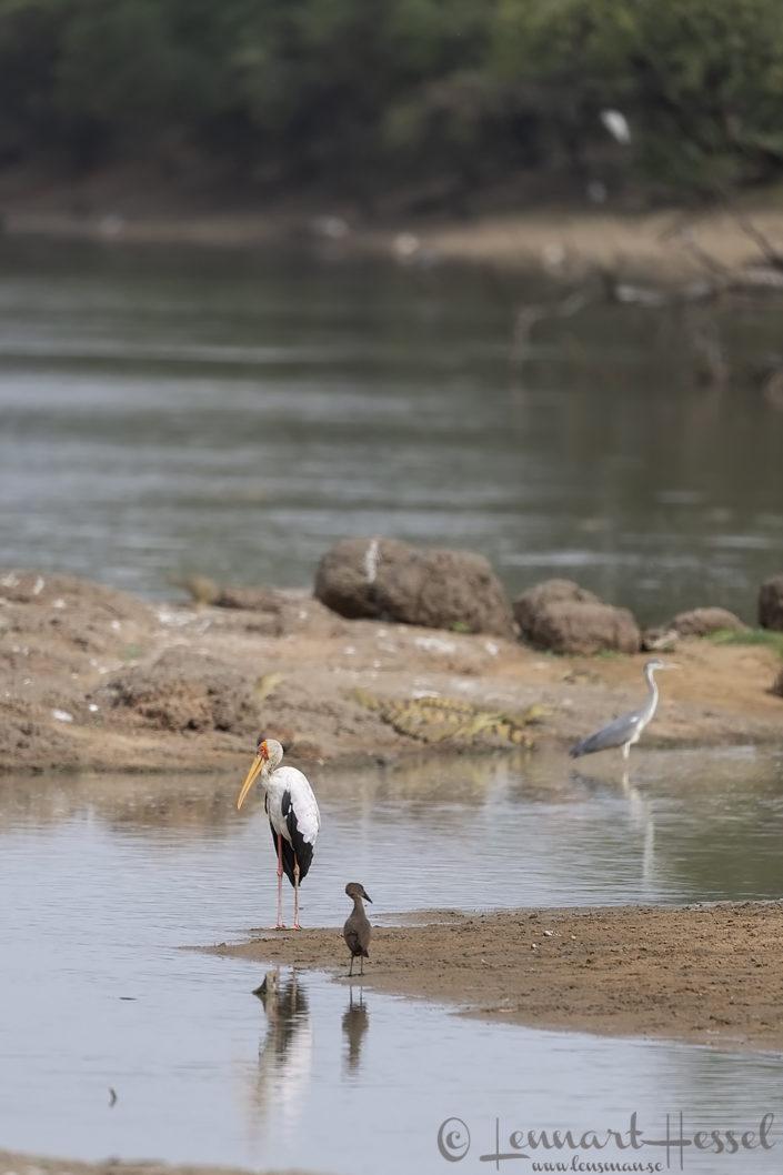 Yellow-billed Stork, Hamerkop, Grey Heron and Crocs Salamat River Zakouma National Park