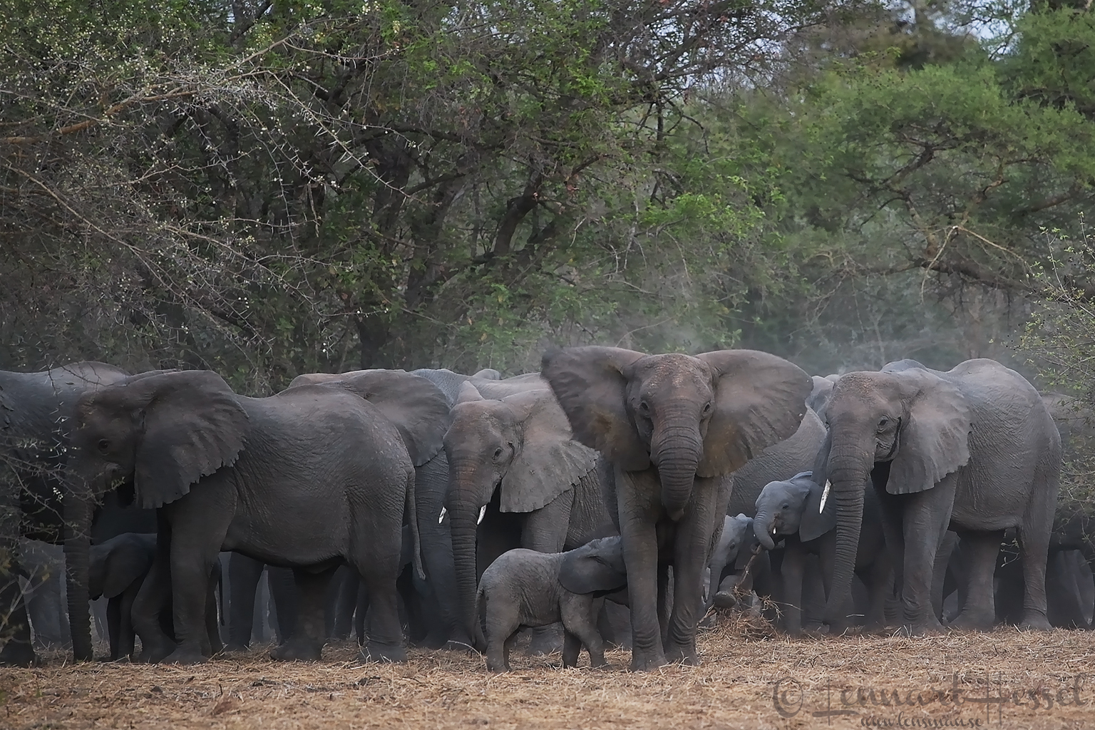 African Elephant herd safety in numbers Zakouma National Park