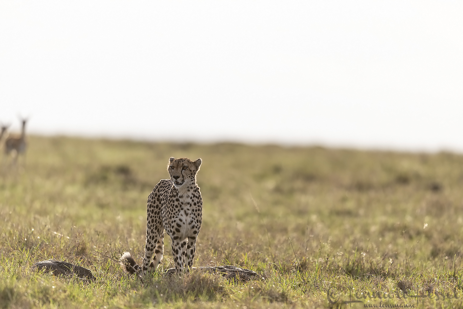 Cheetah with crowd