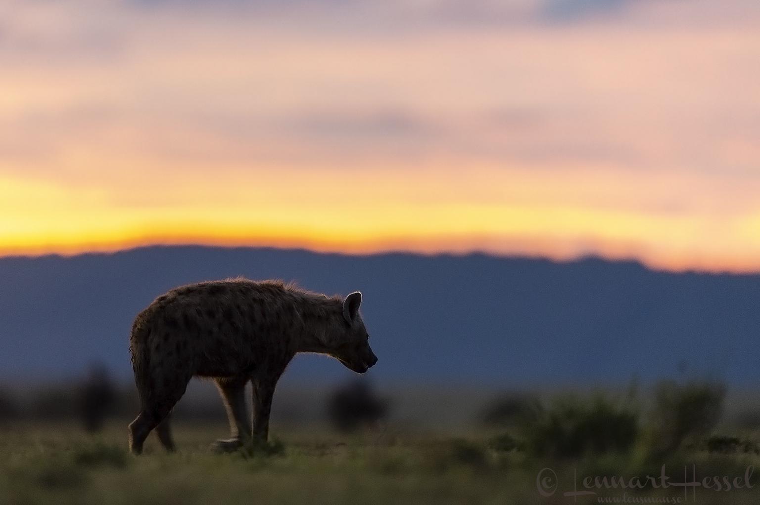 Spotted hyena at sunset Maasai Mara National Reserve
