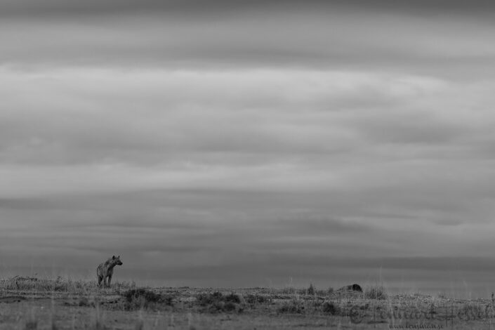 Spotted hyena watching Maasai Mara National Reserve