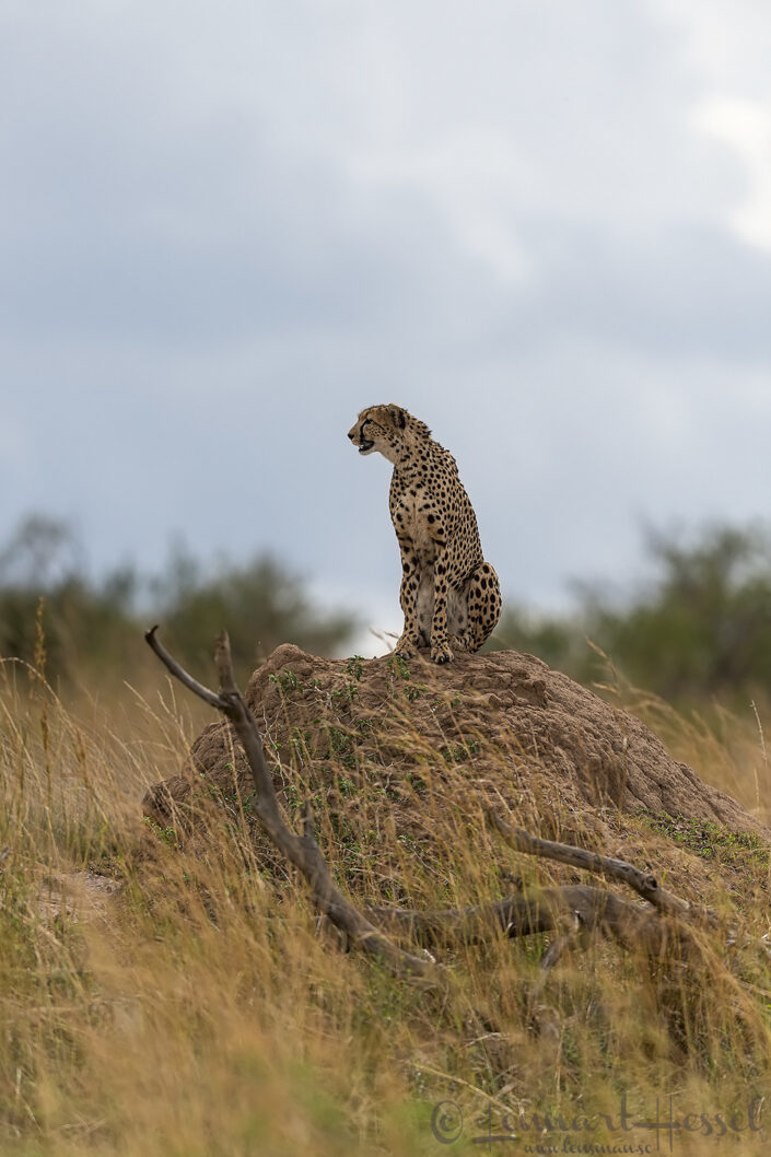 Cheetah mother cats of Maasai Mara