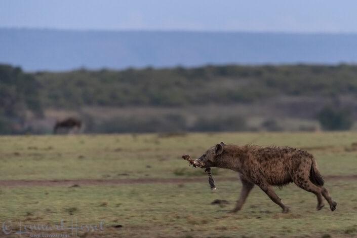 Spotted Hyena with Zebra leg Maasai Mara National Reserve