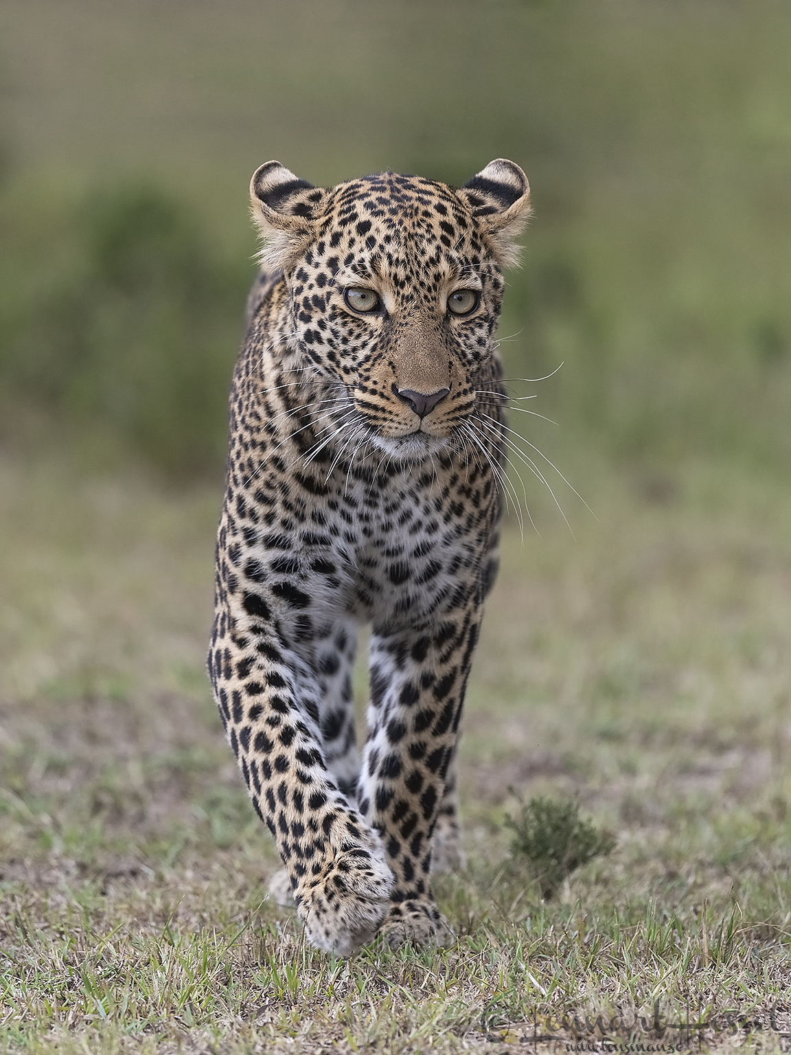 Leopardess walking cats of Maasai Mara