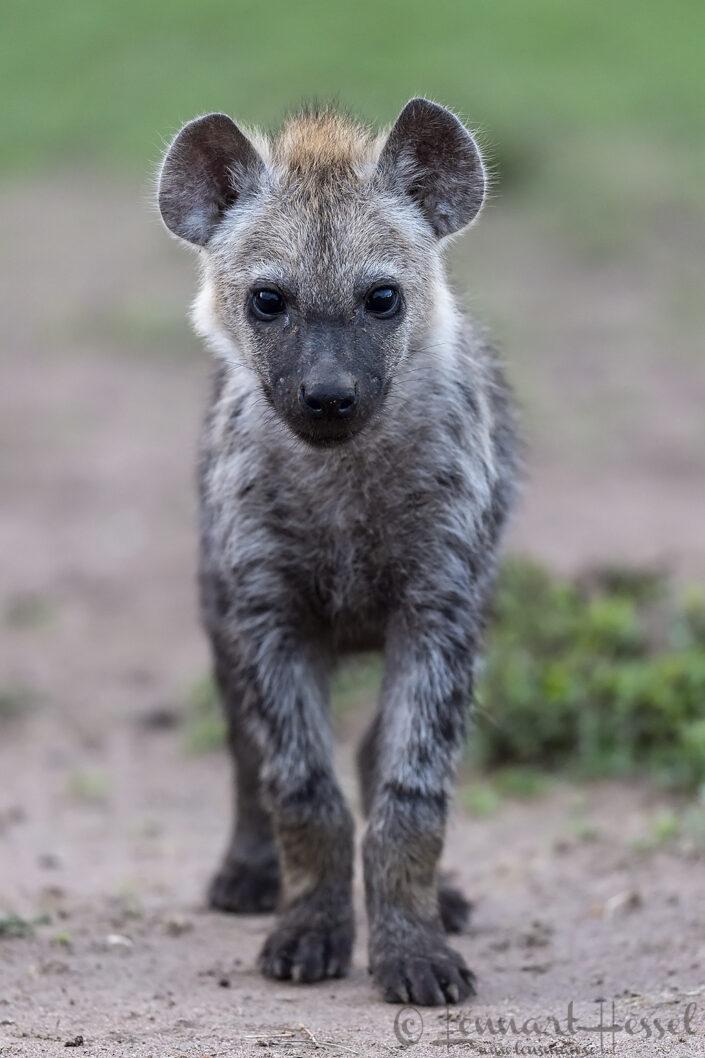 Spotted Hyena cub Maasai Mara National Reserve