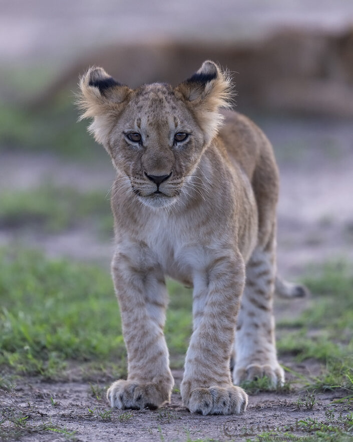 Lion cub cats of Maasai Mara
