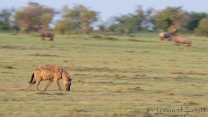 Spotted Hyena pano Maasai Mara National Reserve